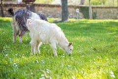 Семья козы на выгоне в зеленом луге Стоковое фото RF