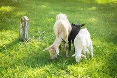 Семья козы на выгоне в зеленом луге Стоковые Фото