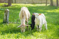 Семья козы на выгоне в зеленом луге Стоковое Изображение