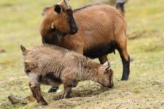 Семья козы Стоковые Фото