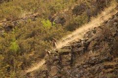 Семья коз горы стоковые изображения rf