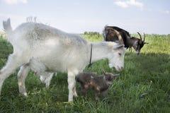 Семья коз пася в луге Стоковые Фотографии RF