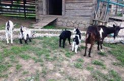 Семья коз Стоковая Фотография RF