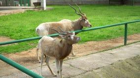 Коза на зоопарке сток-видео