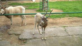 Коза на зоопарке видеоматериал