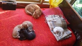 Семья кота спит на красной софе стоковые изображения rf
