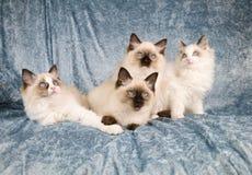 семья кота Стоковая Фотография
