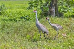 Семья кранов Sandhill идя в травянистое поле стоковое фото