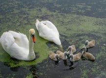Семья красивых белых лебедей на воде в пруде на природе стоковое фото rf
