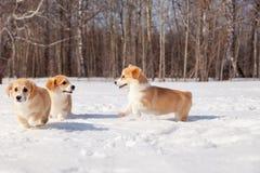 Семья красного много семья щенка Пембрука corgi валийца породы идет на открытом воздухе, бег, имеющ потеху в белом парке снега, л стоковая фотография rf