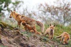 Семья красной лисицы Стоковая Фотография