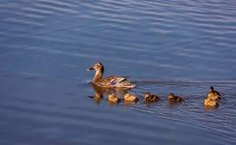 Семья кряквы Ducks заплывание Стоковое Фото