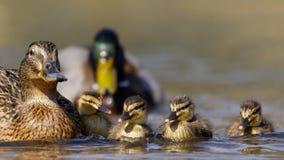 Семья кряквы (platyrhynchos Anas) Стоковая Фотография