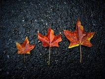 Семья кленовых листов Стоковое фото RF