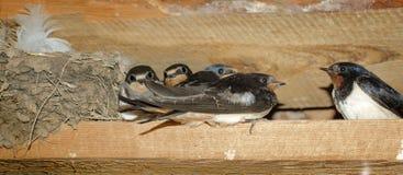 Семья ласточки амбара около гнезда Стоковые Изображения RF