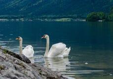 Семья лебедей с молодыми лебедями на озере hallstaettersee hallstatt стоковые фотографии rf