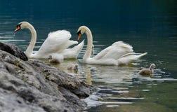 Семья лебедей с молодыми лебедями на озере hallstaettersee hallstatt стоковое фото rf