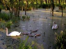 семья лебедей Стоковое фото RF