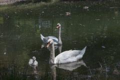 Семья лебедя в озере стоковое изображение rf