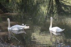 Семья лебедя в озере стоковая фотография