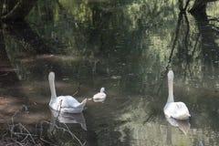 Семья лебедя в озере стоковое фото rf