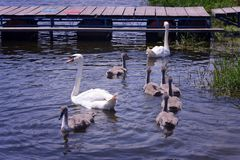 Семья лебедя наслаждаясь на славном солнечном летнем дне Стоковые Фото