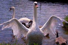 Семья лебедя наслаждаясь на славном солнечном летнем дне Стоковая Фотография RF