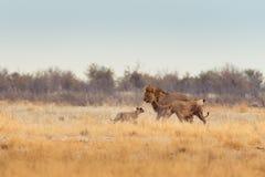 Семья льва лежа в траве Стоковые Фотографии RF