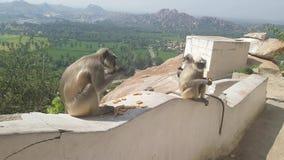 Семья макаки в обезьянах есть в виске в Hampi Индии сток-видео