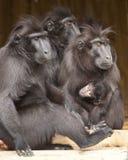 Семья макаки Стоковая Фотография RF