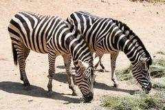 Семья, мать зебры и ее дети Стоковые Фото