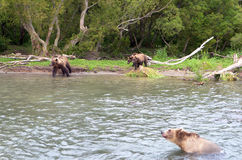 Семья медведя, и новички медведя Стоковые Фотографии RF