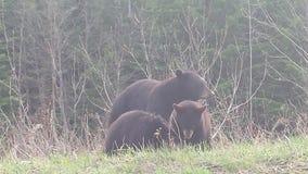семья медведя Стоковые Изображения