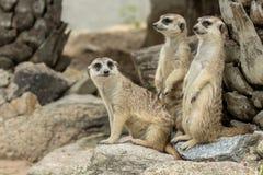 Семья милого Худеньк-замкнутого suricatta Suricata Meerkats Стоковые Фотографии RF