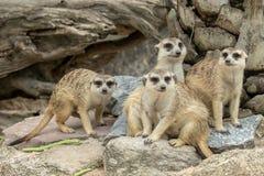 Семья милого Худеньк-замкнутого suricatta Suricata Meerkats Стоковое Изображение RF