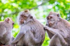 семья младенца холит ее мать обезьяны macaque bali Индонесия стоковая фотография