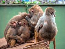 семья младенца холит ее мать обезьяны macaque стоковое изображение
