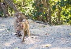 семья младенца холит ее мать обезьяны macaque Стоковые Изображения