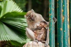 Семья обезьяны в Малайзии стоковое изображение