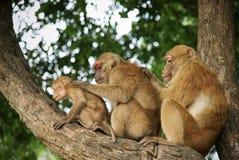 Семья обезьяны имеет находить тикание на коже на дереве стоковое фото