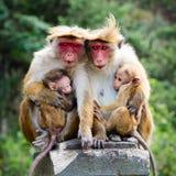 Семья обезьяны Стоковое Изображение