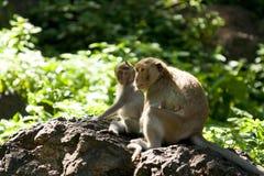Семья обезьяны Стоковые Изображения RF