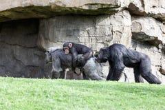 Семья обезьян Стоковая Фотография