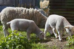 Семья овец Стоковое Изображение RF