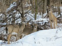 Семья оленей Стоковая Фотография