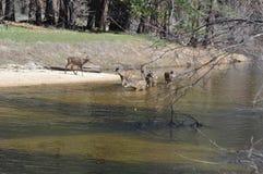 Семья оленей Стоковое Фото