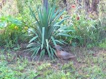 Семья одичалых фазанов и куропаток идя в сад акции видеоматериалы