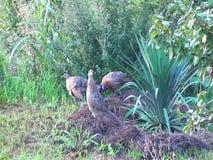 Семья одичалых фазанов и куропаток идя в сад сток-видео