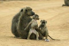 семья павиана Стоковое Фото