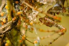 Семья паука стоковые изображения rf